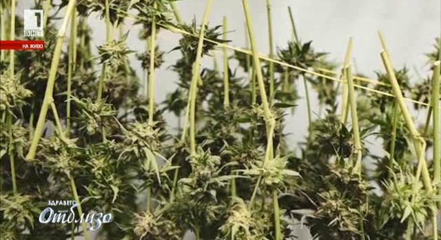 Да бъде ли легализирана марихуаната за медицински цели