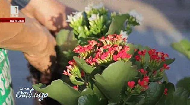Природна аптека: Каланхое - цвете-лекарство