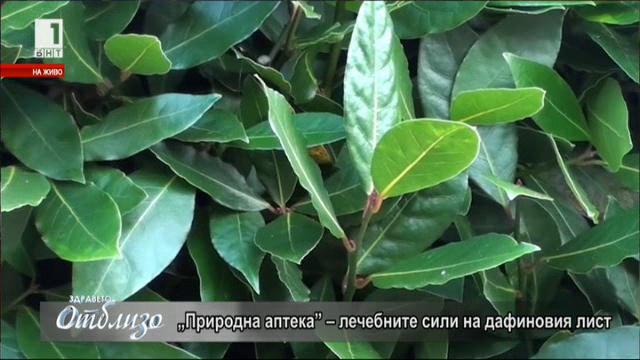 Природна аптека: Лечебните сили на дафиновия лист