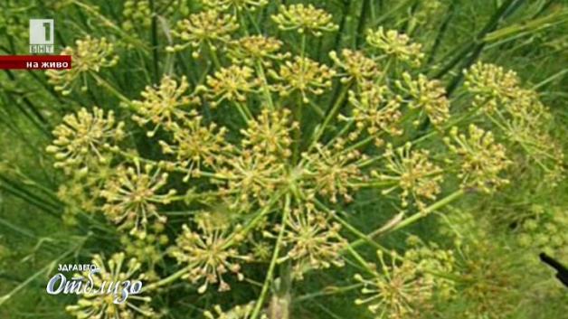 Природна аптека: Резенето и неговите семена