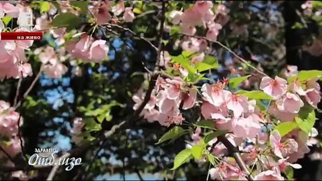 Сакура - празникът на цъфналите вишни