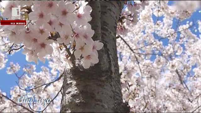 Празникът на цъфналите вишни