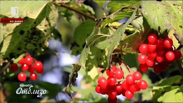 """""""Природна аптека"""" – лечебните свойства на дървото Калина"""