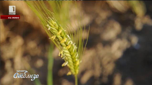 Най-древното жито в света - лимецът
