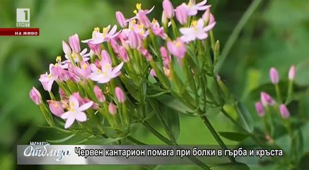 """""""Природна аптека"""" - силата на червения кантарион при болки в гърба"""