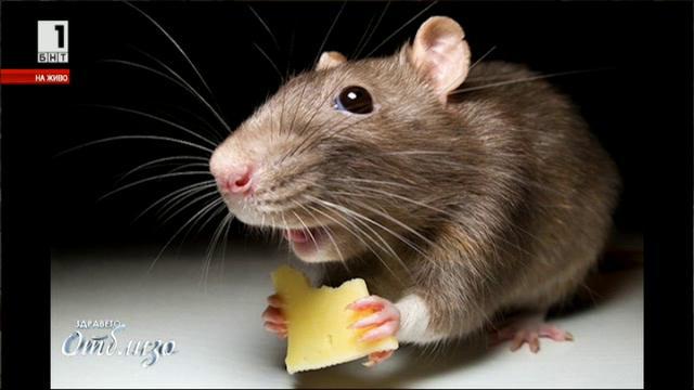 Мишките – най-добрият приятел на учените
