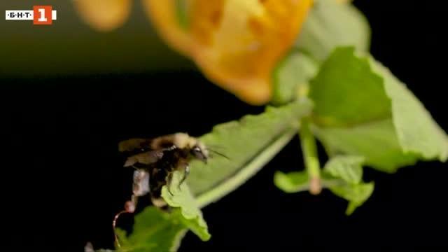 Пчели с раници