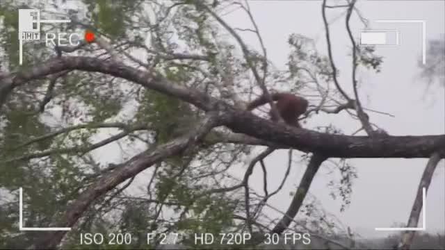 Орангутанът, който защити гората си