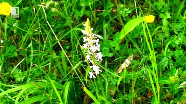 Диви орхидеи над Смилян