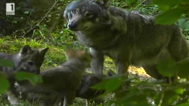 Вълците се отправят на Запад. Зелена светлина – 16.03.2015