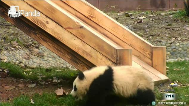 Защо пандите са черно-бели?