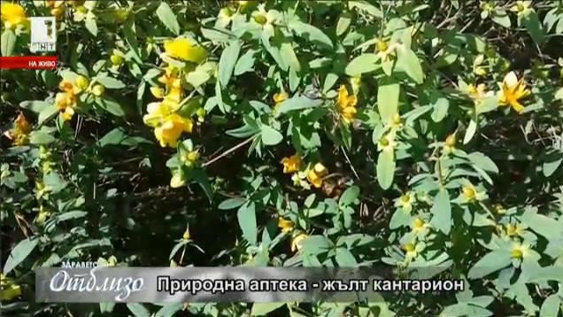 Природна аптека: Жълт кантарион